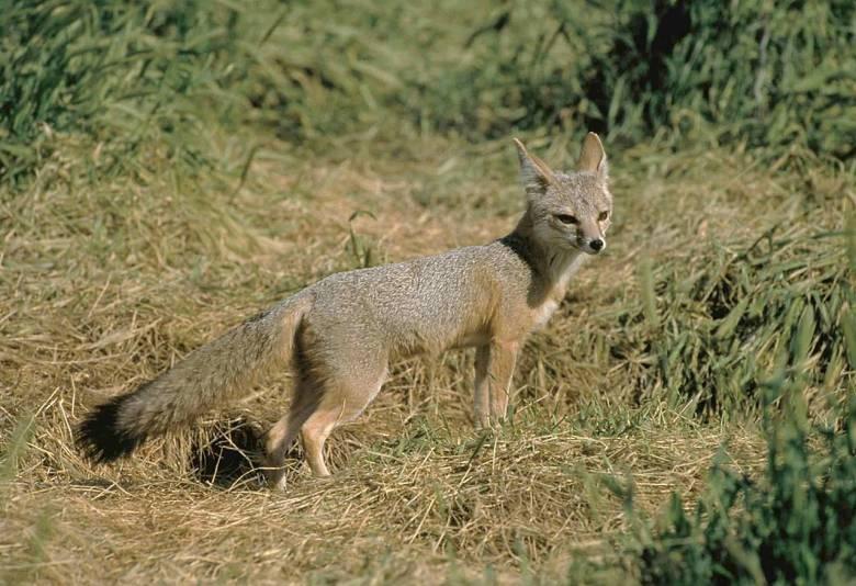 Az amerikai kontinens félsivatagos területein honos, apró termetű, nagyfülű, sárgásszürke hátú és narancssárga mellű kitróka a kutyafélék családjának egyik legfélénkebb és legóvatosabb képviselője • Kép forrása: Wikipédia