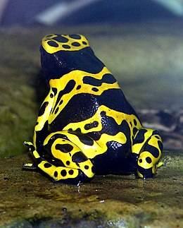 A méregtermelő állatok (köztük a nyílméregbékák) a ragadozókat feltűnő – fekete-sárga, fekete-vörös stb. – színeikkel figyelmeztetve védekeznek • Forrás: Wikipédia