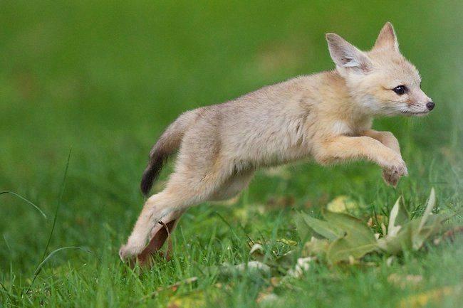 A féléves rókakölykök – szüleiket utánozva – már a jellegzetes rókaugrással ejtik el áldozatukat