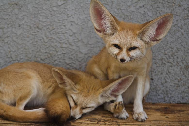 Az afrikai sivatagokban élő, apró termetű sivatagi rókát krémszínű bundája rejti el és védi meg az erős napsütéstől, illetve az éjszakai hidegtől, hatalmas füle pedig a legapróbb neszek betájolásában segíti • Kép forrása: Wikipédia