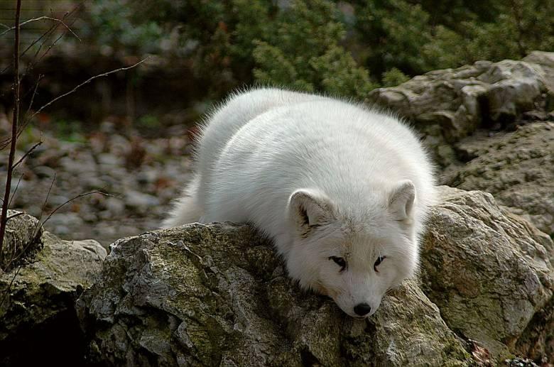 Földünk leghidegebb területein, az Északi-sarkkör tundráin őshonos, télen hófehér, nyáron szürkés rejtőszínű sarki rókák testük melegével védik kicsinyeiket a megfagyástól • Kép forrása: Wikipédia