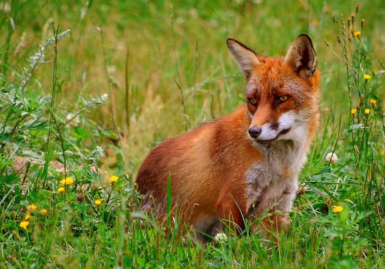 A vörös róka vesztét elsősorban gyönyörű bundája okozza: csak Angliában évente rókák tízezreit gyilkolták meg a fél évezrede nemzeti (úri) sportnak számító falkavadászatokon a 2005-ben történt betiltásukig • Kép forrása: Wikipédia