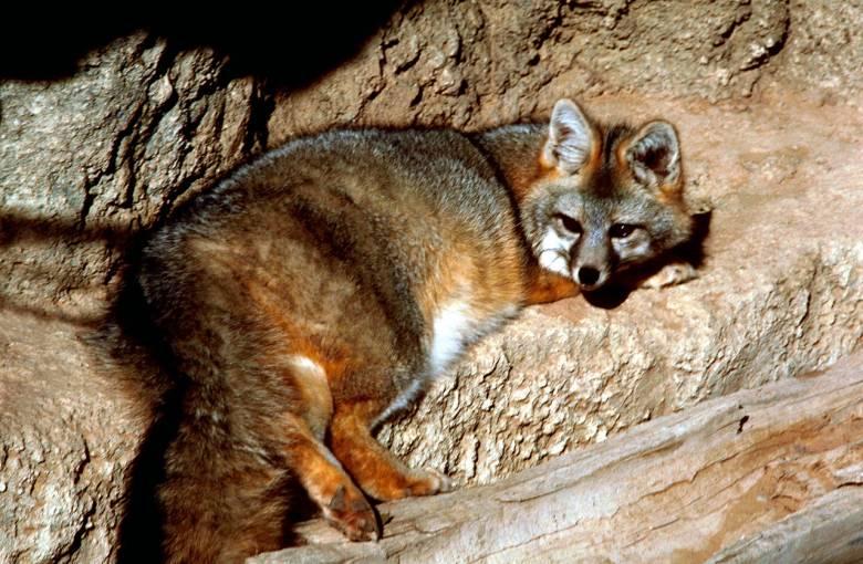 Az Észak-Amerika erdeiben élő, ezüstszürke hátú, narancssárga mellű, többnyire magas fák ágai között rejtőző, vadászó és pihenő szürke róka szemmel láthatóan elégedett szépségével • Kép forrása: Wikipédia
