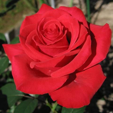 Rózsa • Forrás: Wikipédia